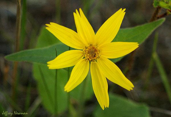 Arnica-blossom-P1898e