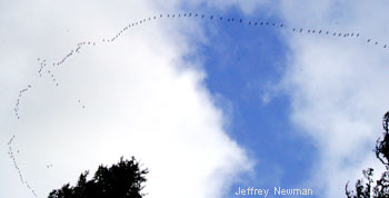 For Earth Day - Birds in formation, returning north