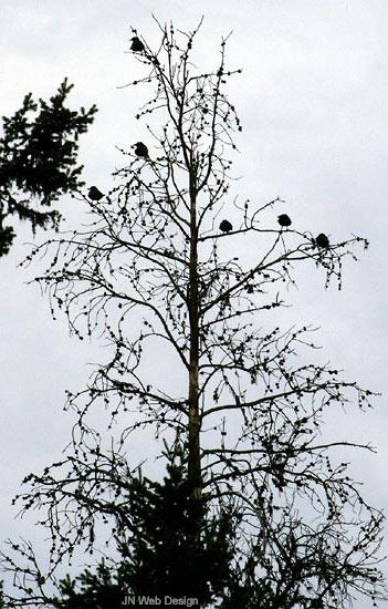 Treecrowssilcrop
