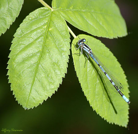 Boreal bluet damselfly