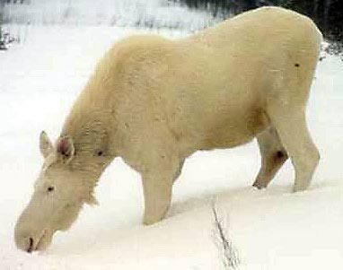 http://jnblog.typepad.com/photos/uncategorized/albinomoose.jpg
