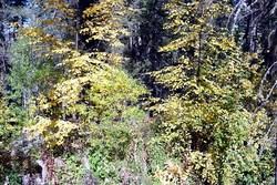 Autumntreessm